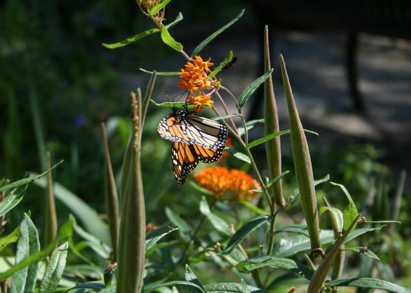 Butterfly IAPD