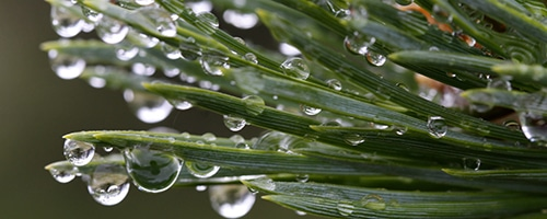 Close up of rain drops on pine tree
